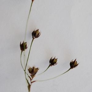 Photographie n°772671 du taxon Luzula forsteri (Sm.) DC.