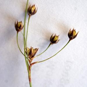 Photographie n°772675 du taxon Luzula forsteri (Sm.) DC.