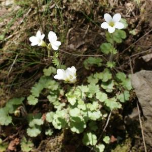 Photographie n°772839 du taxon Saxifraga granulata L.
