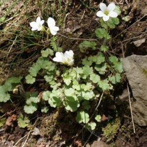 Photographie n°772844 du taxon Saxifraga granulata L.