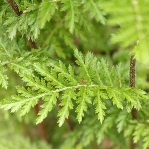 Photographie n°774610 du taxon Tanacetum corymbosum (L.) Sch.Bip. [1844]