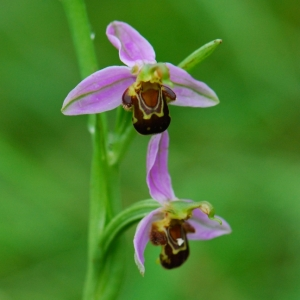 Photographie n°774642 du taxon Ophrys apifera Huds. [1762]