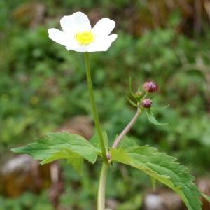 Photographie n°775523 du taxon Ranunculus aconitifolius L. [1753]