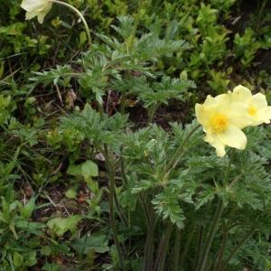 Photographie n°775541 du taxon Anemone alpina subsp. apiifolia (Scop.) O.Bolòs & Vigo [1974]