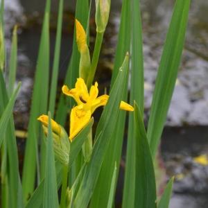Photographie n°776258 du taxon Iris pseudacorus L. [1753]