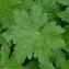 Jm Launay - Geranium macrorrhizum L.