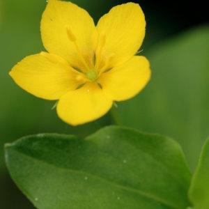Photographie n°776390 du taxon Lysimachia nemorum L.