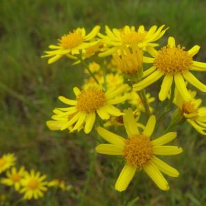 Photographie n°776477 du taxon Jacobaea vulgaris Gaertn.