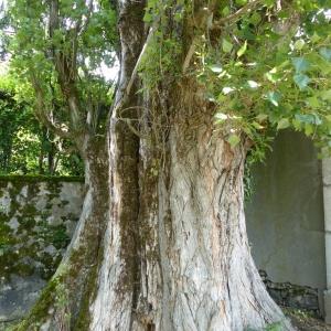 Photographie n°776946 du taxon Populus nigra L.