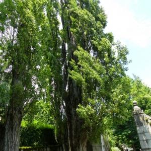 Photographie n°776947 du taxon Populus nigra L.