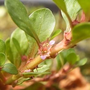 Photographie n°777068 du taxon Lythrum portula (L.) D.A.Webb