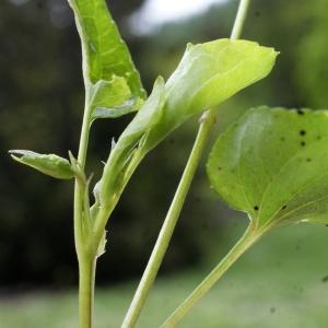 Photographie n°777142 du taxon Viola riviniana Rchb.
