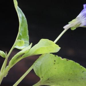 Photographie n°777153 du taxon Viola riviniana Rchb.