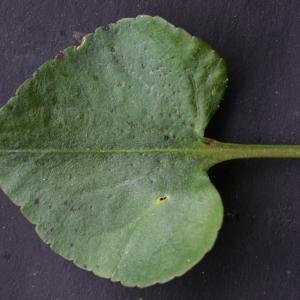 Photographie n°777163 du taxon Viola riviniana Rchb.