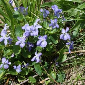 Photographie n°777191 du taxon Viola riviniana Rchb.