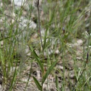 Photographie n°777194 du taxon Cephalanthera rubra (L.) Rich. [1817]