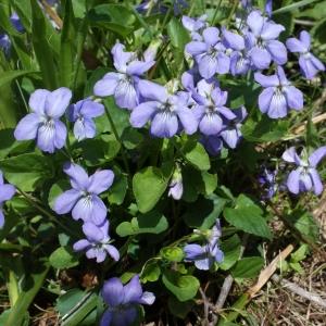 Photographie n°777198 du taxon Viola riviniana Rchb.