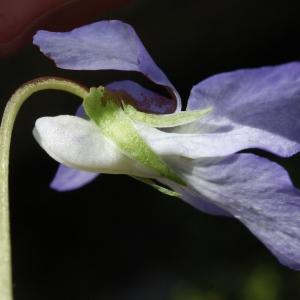 Photographie n°777216 du taxon Viola riviniana Rchb.