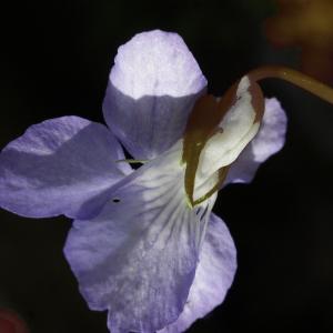 Photographie n°777217 du taxon Viola riviniana Rchb.