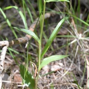 Photographie n°777242 du taxon Cephalanthera damasonium (Mill.) Druce [1906]