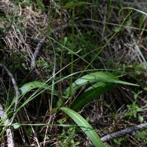 Photographie n°777517 du taxon Dactylorhiza fuchsii (Druce) Soó [1962]