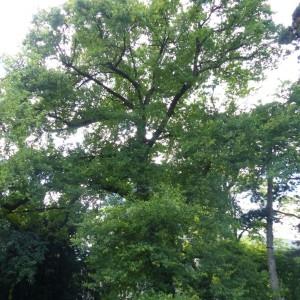 Photographie n°777679 du taxon Chêne pubescent