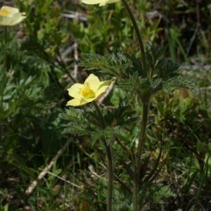 Photographie n°777689 du taxon Anemone alpina subsp. apiifolia (Scop.) O.Bolòs & Vigo [1974]