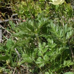 Photographie n°777691 du taxon Anemone alpina subsp. apiifolia (Scop.) O.Bolòs & Vigo [1974]