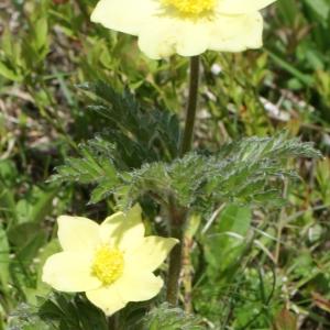 Photographie n°777696 du taxon Anemone alpina subsp. apiifolia (Scop.) O.Bolòs & Vigo [1974]