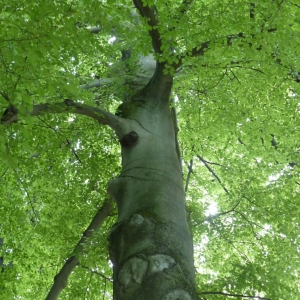 Photographie n°777738 du taxon Hêtre
