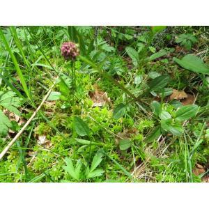 Valeriana dioica L. subsp. dioica (Petite Valériane)