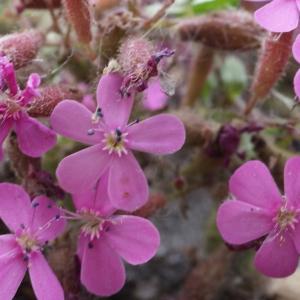 Photographie n°778281 du taxon Saponaria ocymoides L.