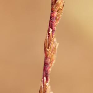 Photographie n°778549 du taxon Vulpia unilateralis (L.) Stace [1978]