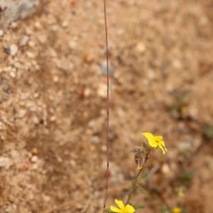 Psilurus incurvus (Gouan) Schinz & Thell. (Psilure aristé)
