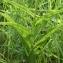 Liliane Roubaudi - Cephalanthera longifolia (L.) Fritsch [1888]