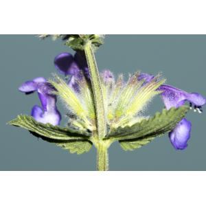 Nepeta x faassenii Bergmans ex Stearn (Garden Cat-mint)