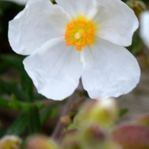Photographie n°779083 du taxon Halimium umbellatum (L.) Spach [1836]