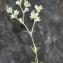 Liliane Roubaudi - Scleranthus perennis L. [1753]