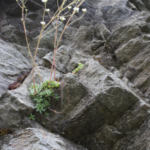 Photographie n°779145 du taxon Saxifraga paniculata Mill.