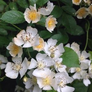 Photographie n°779942 du taxon Rosa L. [1753]