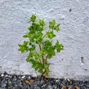 Photographie n°780468 du taxon Euphorbia peplus L. [1753]