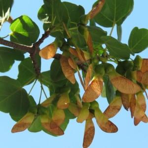 Photographie n°780739 du taxon Acer monspessulanum L. [1753]