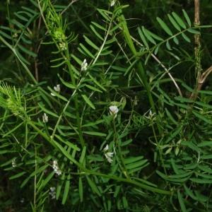 Photographie n°781172 du taxon Ervilia hirsuta (L.) Opiz [1852]