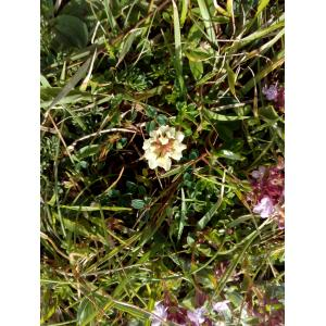 Trifolium repens f. maritimum Corb. (Trèfle de l'ouest)