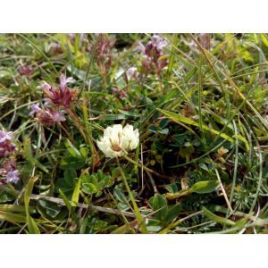 Amoria occidentalis (Coombe) Soják [1980] (Trèfle de l'ouest)
