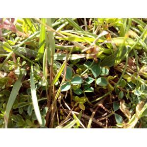 Trifolium repens f. maritimum Corb. [1894] (Trèfle de l'ouest)