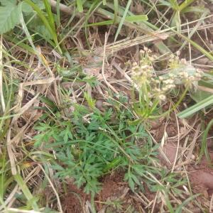 - Laserpitium prutenicum subsp. dufourianum (Rouy & E.G.Camus) Braun-Blanq. [1929]