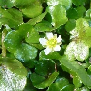 Ranunculus hederaceus L. (Renoncule à feuilles de lierre)