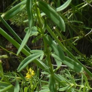 Photographie n°781993 du taxon Hypericum perforatum var. angustifolium DC. [1815]