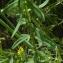 Ans Gorter - Hypericum perforatum var. angustifolium DC. [1815]